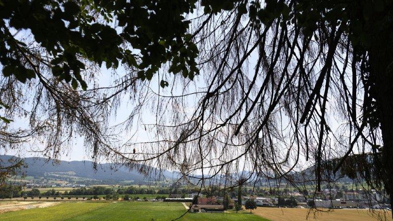 Des arbres attaqué par le bostryche photographiés dans une forêt de Courrendlin, dans le Jura.
