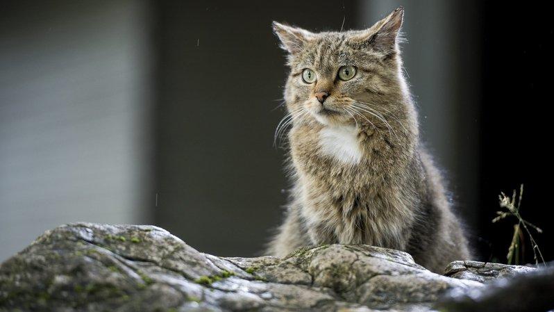 Champ-Pittet: le chat sauvage s'expose au Centre Pro Natura