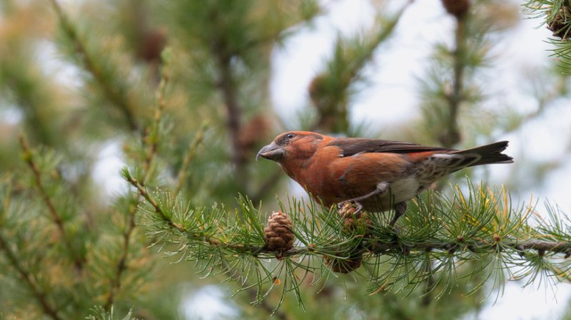 Biodiversité: les oiseaux de haute montagne sont mis sous pression