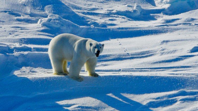 Réchauffement de la planète: vers l'extinction des ours polaires d'ici 2100