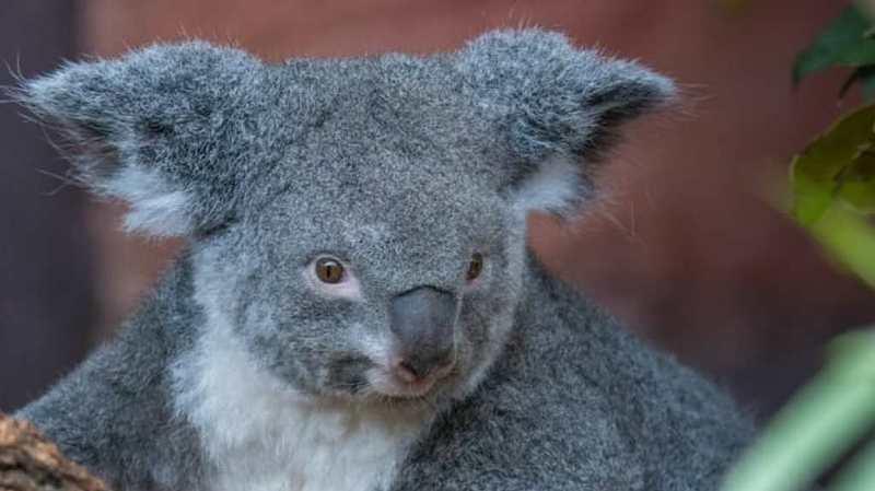 La femelle koala Pippa porte un petit dans sa poche.