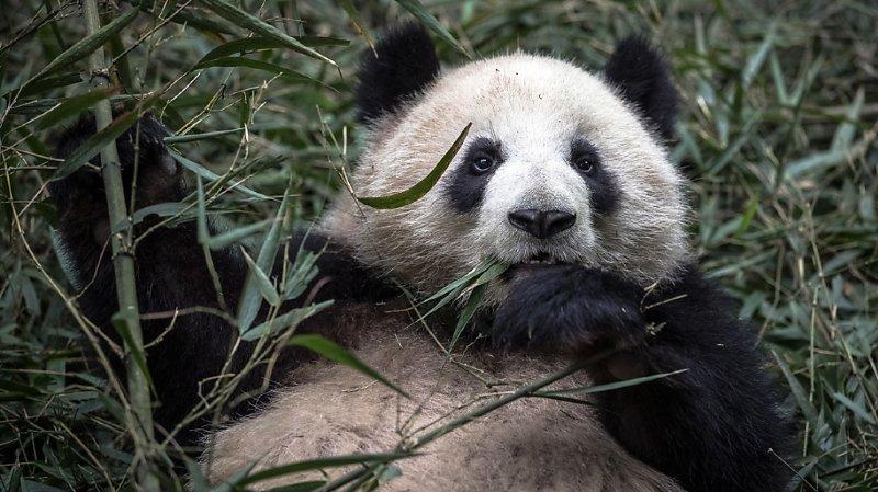 Environnement: protéger le panda dessert la cause de certains grands mammifères