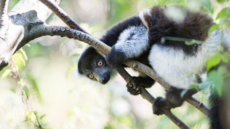 """Deux varis sont nés au zoo de Bâle. L'animal figure sur la liste rouge des espèces """"en danger critique d'extinction""""."""