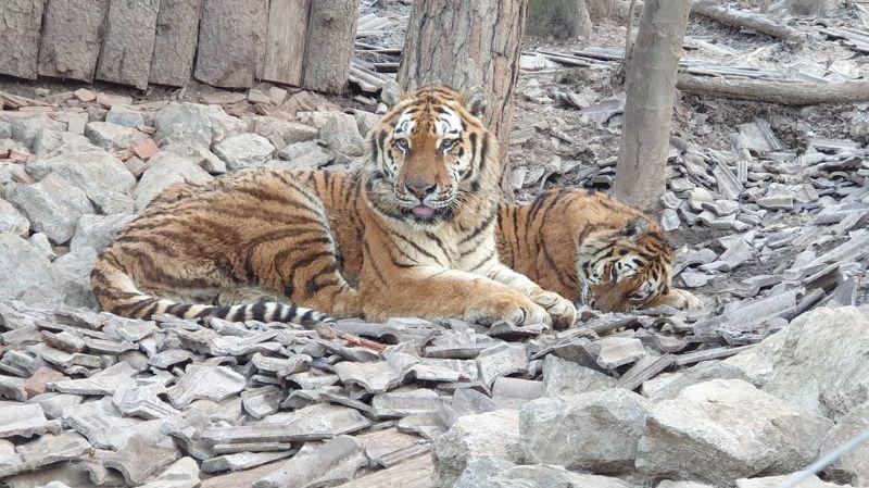 Le parc de sauvetage vient en aide aux fauves âgés, comme ces deux tigres en Slovénie.
