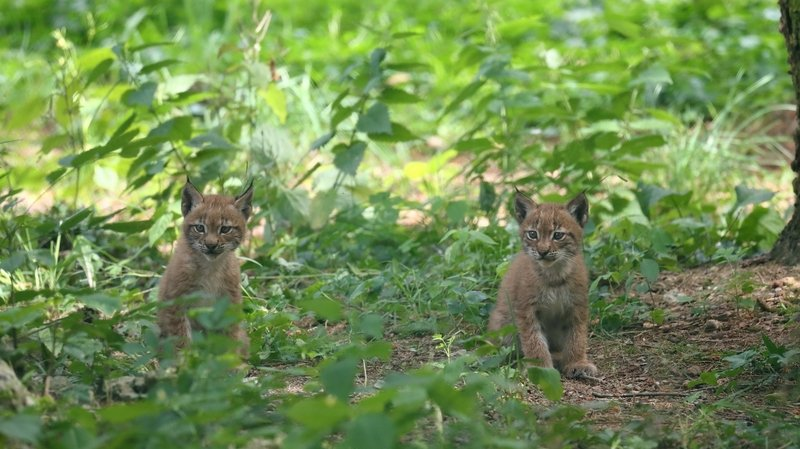 Naissance de deux lynx boréal au zoo de Servion