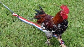 France: une pétition réclame ''justice'' après la mort du coq Marcel