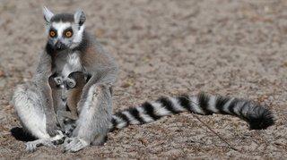 Alerterougepour le lémurien de Madagascar, le grand hamster ou encore la baleine franche