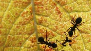 Environnement: les fourmis sont les jardinières de la nature