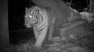 Le Neuchâtelois Neil Villard part traquer le tigre de Sibérie