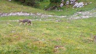 Marchairuz: la meute de loups s'agrandit