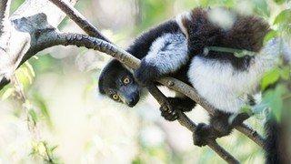 Animaux: naissance de deux varis au zoo de Bâle