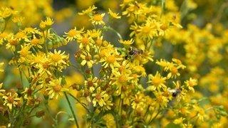 Plantes invasives: Neuchâtel veut moins faucher pour les combattre