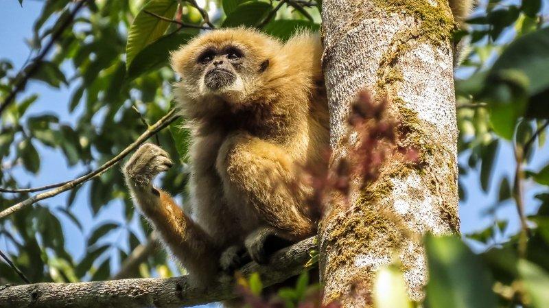 Les gibbons à mains blanches produisent des chants particulièrement longs et complexes.