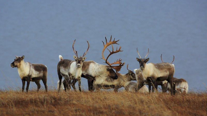 Environnement: le Canada s'oppose à des forages dans une zone naturelle protégée de l'Alaska