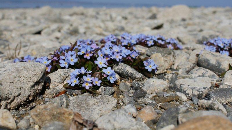Biodiversité: les plantes rares toujours plus menacées en Suisse