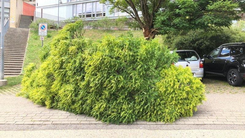 Neuchâtel: faux acacias abattus à la rue des Acacias