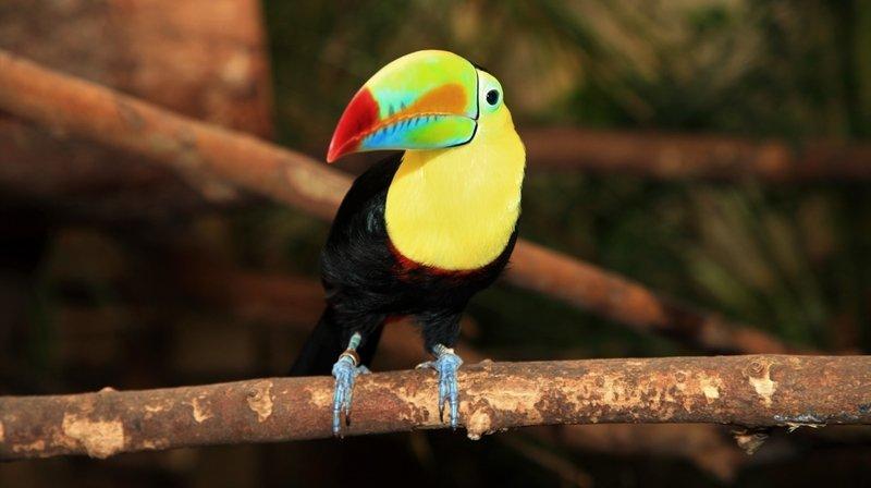 Chiètres: le toucan Sailor, une des vedettes du Papiliorama, est mort