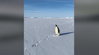 Antarctique: un manchot empereur s'entiche d'un groupe de scientifiques