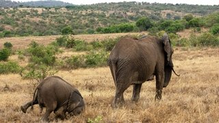 Tim Hearn Elephant